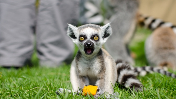 Cute baby Lemur in the Zoo